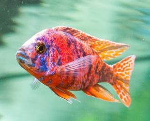 Malawi-Buntbarsch-Fisch
